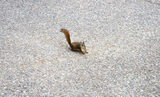 Moraine Lake Lodge: Brown squirrel