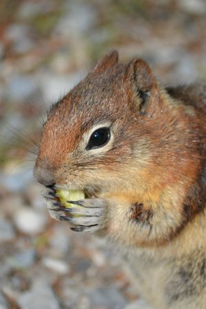 Moraine Lake Lodge: squirrel