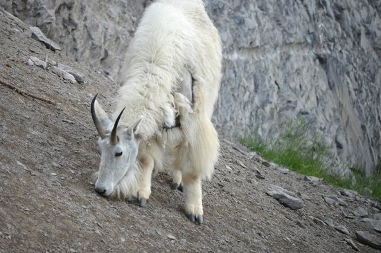Wyndswept Bed and Breakfast: Mountain Goat