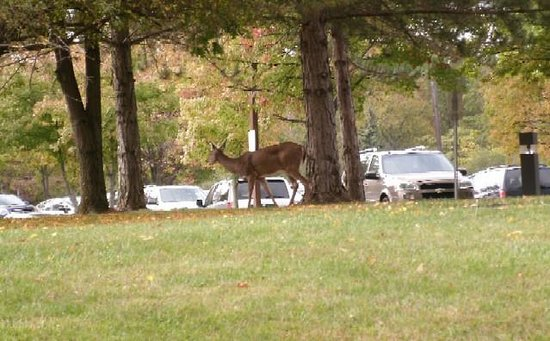 Deer Creek Lodge and Conference Center: Deer every day