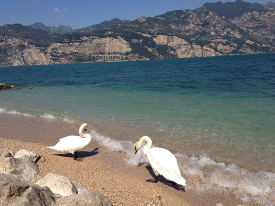 Hotel Castello Lake Front: Swans are eating from your hand in front of the hotel