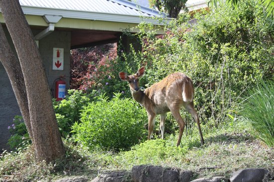 Cathedral Peak Hotel: Antelope in hotel garden