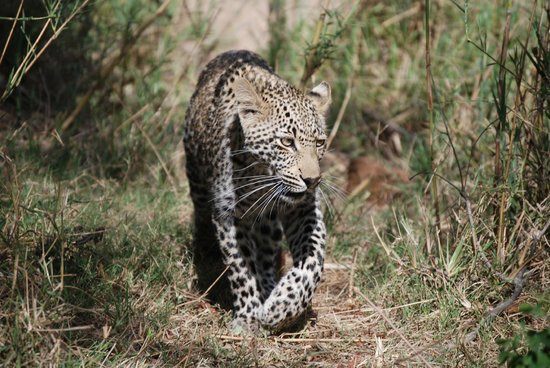 A one year old juvenile leopard on the way to the Dulini lodge