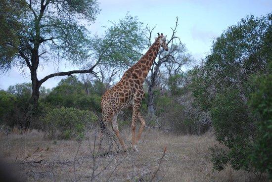 Dulini Lodge: Giraffe on the move