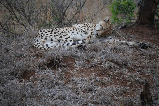 Dulini Lodge: A lazy morning for the cheetah