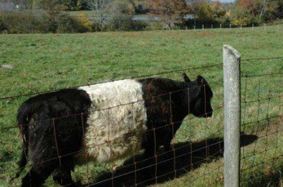 Mount Battie: Banded Galloway