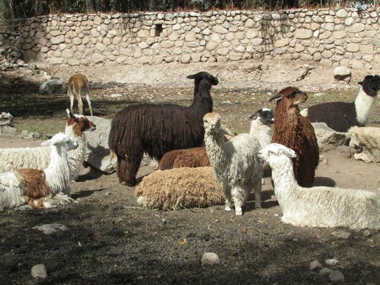 Alhambra Restaurant: Alpacas