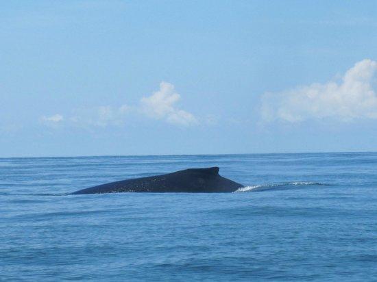 Hotel Restaurante la Fiore de Bahia : Humpback Whale