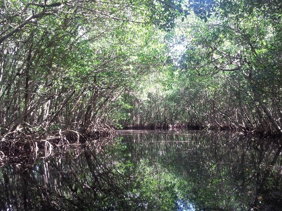 Backwater Adventure : Mangrove trees in the 10,000 Islands