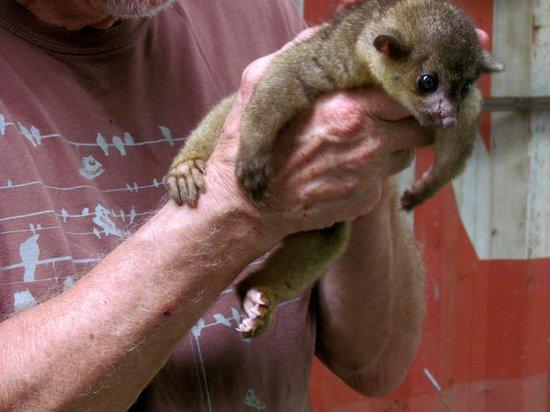 Osa Mountain Rainforest Villas & Adventures : a kinkajou at the animal sanctuary