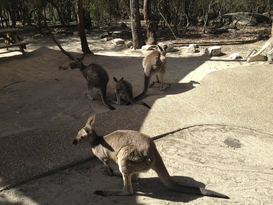 Kangarrific Tours : kangaroos