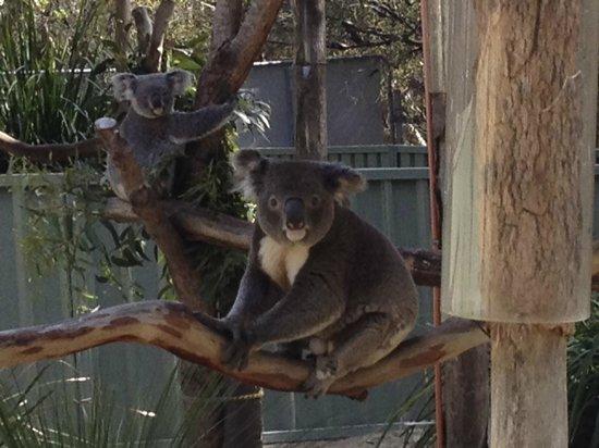 Kangarrific Tours : koalas