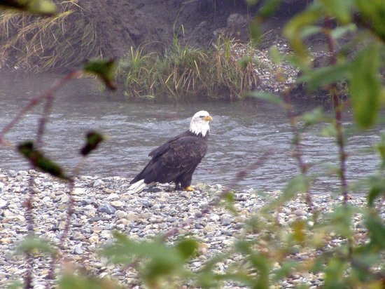 Grizzly Bear Ranch : Bald eagle on the Lardeau river