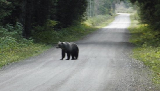 Grizzly Bear Ranch : Grizzly on the road