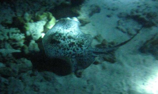 Octopus Diving Center : Une raie de nuit
