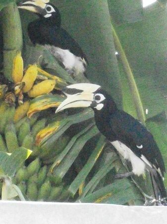 Coco's Bistro: Hornbill's in Cocos bananatree