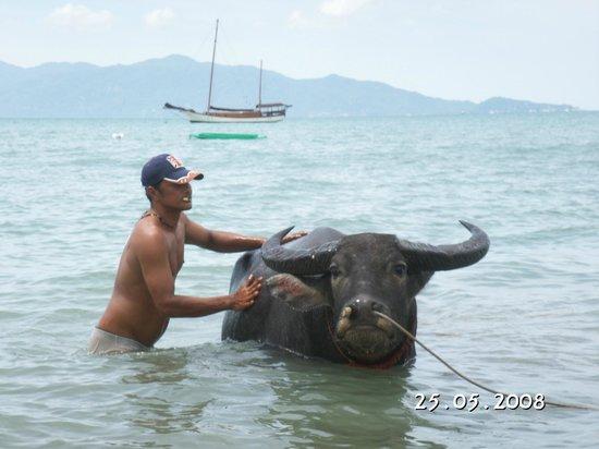 Samui Honey Cottages Beach Resort: Water buffalo