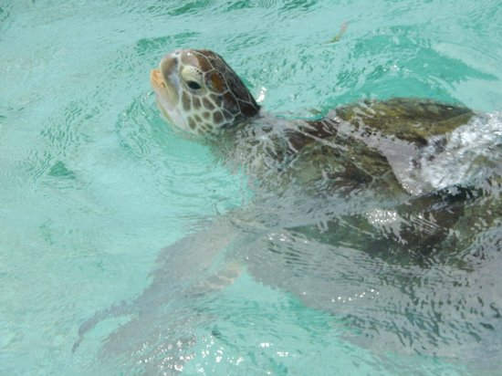 Hotel Medhufushi: TRop belle tortue pres des pilotis