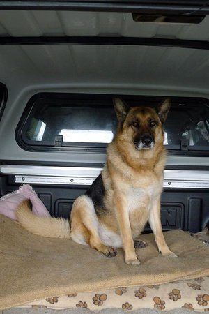 Camperdown Farmstay: Sam the friendly German Shepherd
