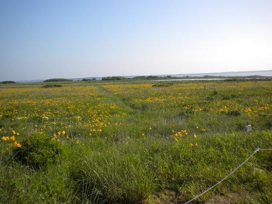 Notsuke Peninsula: エゾカンゾウ群落3