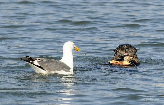 Avila Beach Boat Charters: Otter Eating Crab