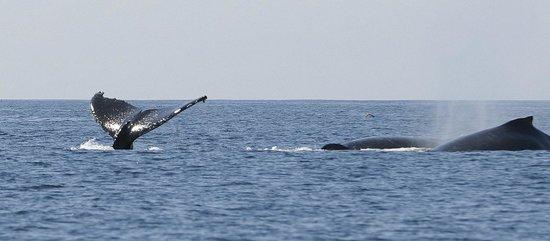 Avila Beach Boat Charters: Humback Whales