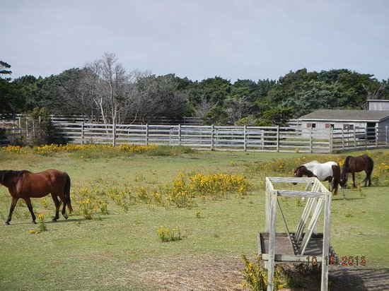 Ocracoke Pony Pens: ponies in front area