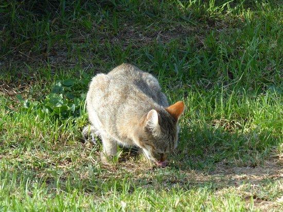 Tenikwa Wildlife Awareness Centre: Wildkatze
