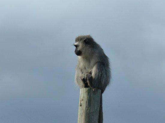 Tenikwa Wildlife Awareness Centre: Meerkatze