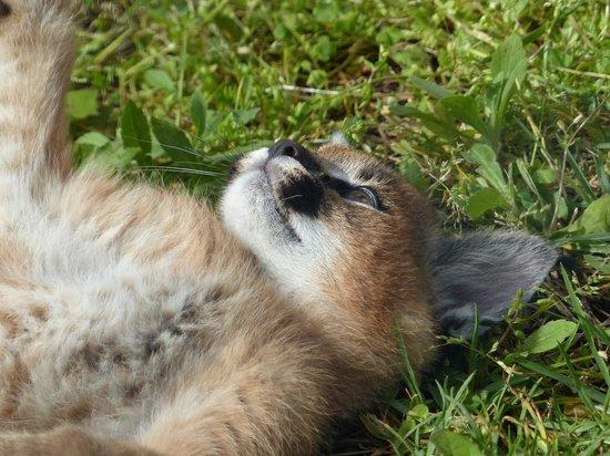 Tenikwa Wildlife Awareness Centre: Karakal Baby