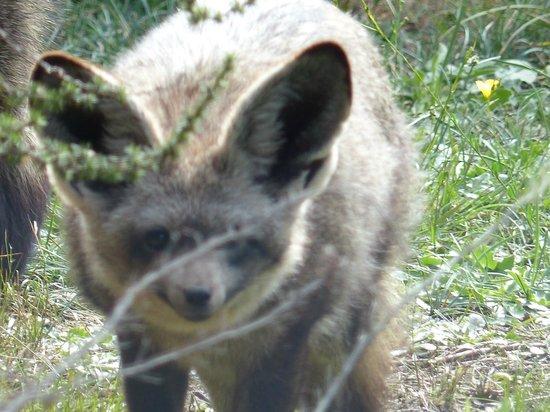 Tenikwa Wildlife Awareness Centre: Wildhund