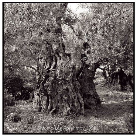 Ancient olive tree garden of gethsemane by shlomo lee for Age olive trees garden gethsemane