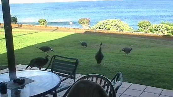 Castle Kaluakoi Villas: Turkey strolling the property