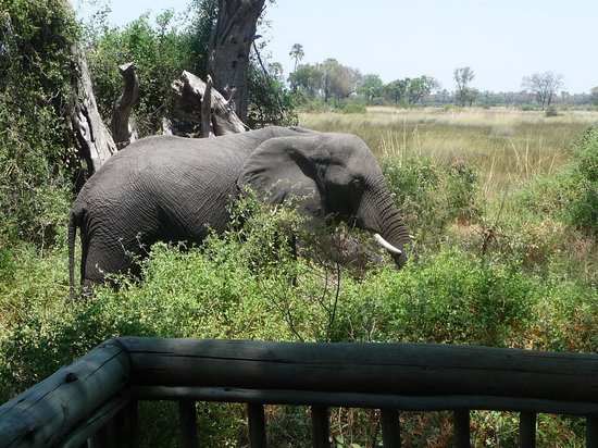 Moremi Crossing Camp : Elephants close to home