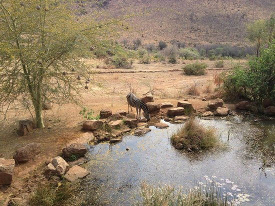 Kwa Maritane Bush Lodge: The first brave zebra who came to the watering hole 20 feet away from us.