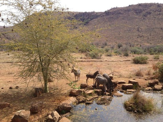 Kwa Maritane Bush Lodge: Watering hole at Pilanesburg Game Part which is 20 ft away from Kwa Maritame restaurant terrace