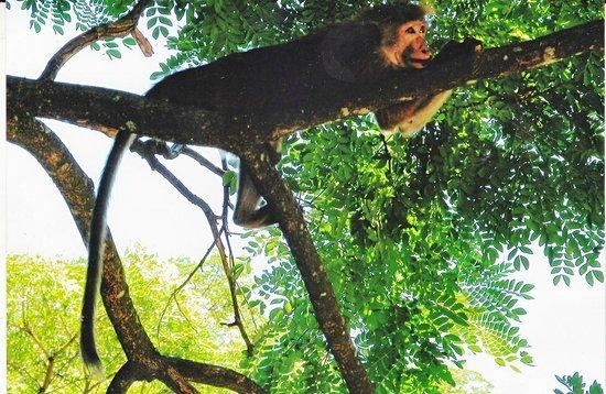 Udawattekele Sanctuary: Monkey resting