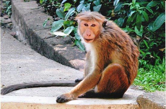 Udawattekele Sanctuary: Monkey undicided