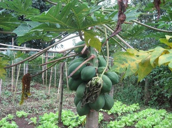 Hotel Casa Turire : Papaya growing in the natural garden. So delicious!