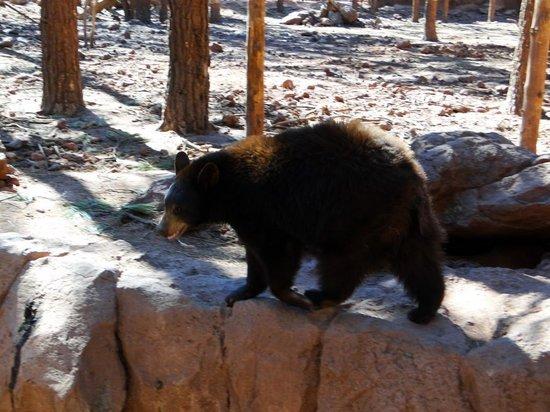 Bearizona Wildlife Park: Lots of Bears