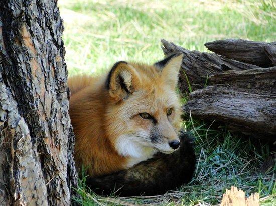 Bearizona Wildlife Park: Fox