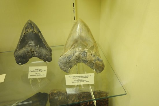 The Museum @ Black Hills Institute : Megalodon tooth!