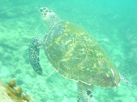 Papagaios Island: Tartaruga
