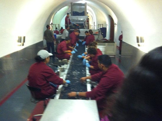 Palmaz Vineyards: workers checking each grape before it drops down via gravity to the next level
