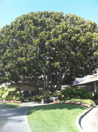 Fairmont Miramar Hotel & Bungalows: Fig Tree