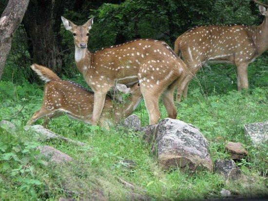 Tourist Village Shivpuri: Feed time for the Doe...