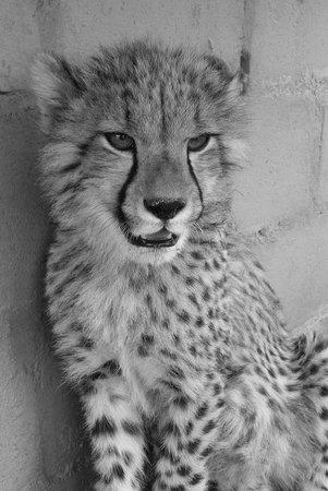 Nambiti Hills Private Game Lodge: Cheetah Cub