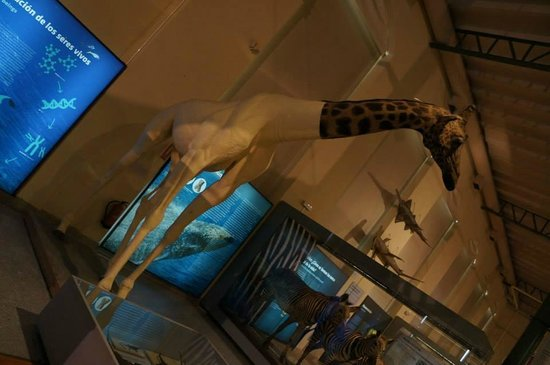 Museo Nacional de Ciencias Naturales (Museum of Natural Sciences): Half a giraffe.