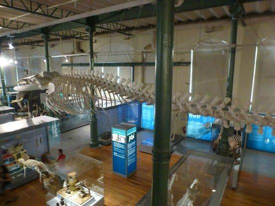 Museo Nacional de Ciencias Naturales (Museum of Natural Sciences): Skeleton of a whale.
