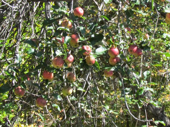 Sivananda Ashram Yoga Ranch : sweet apples